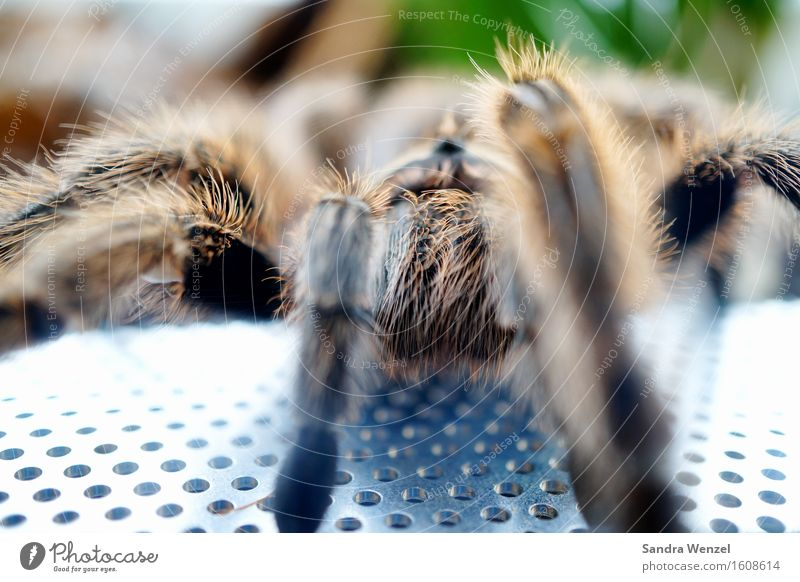 spider Environment Nature Animal Climate change Virgin forest Spider Animal face Zoo 1 Observe Feeding Bird-eating spider Hair Colour photo Close-up