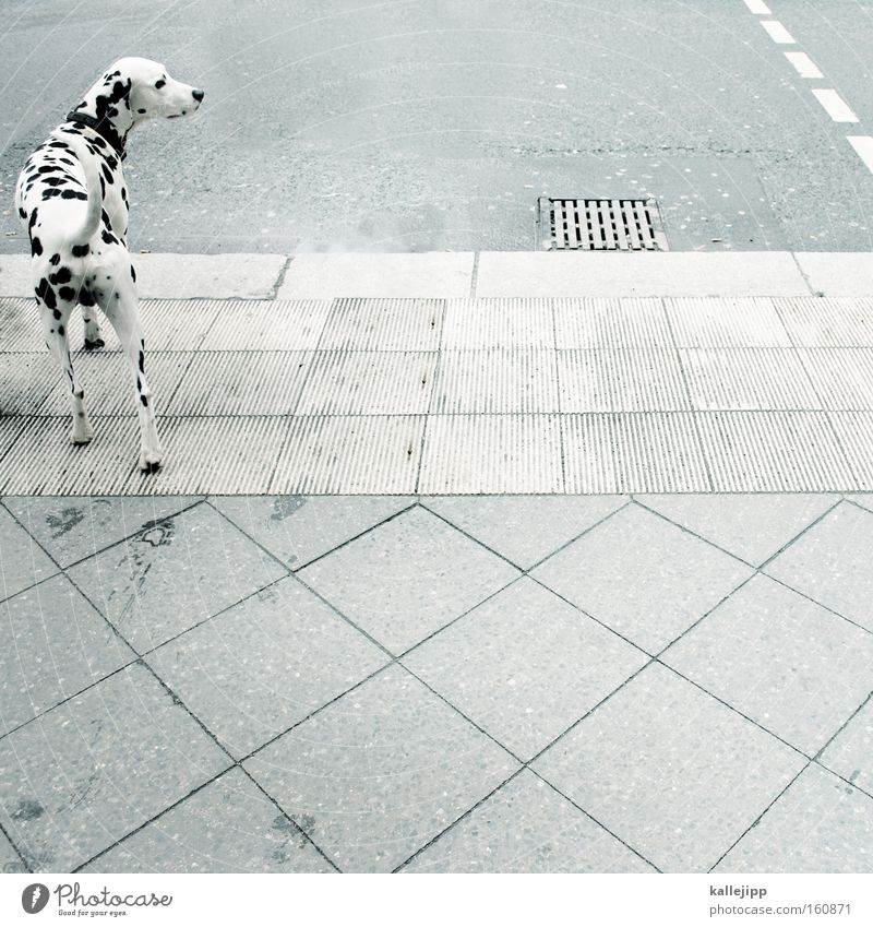 White Black Animal Street Dog Road traffic Point Mammal Pet Intersection Livestock breeding Dalmatian Pedestrian crossing