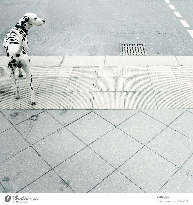 zebra Dalmatian Dog Animal Livestock breeding Pet Street Pedestrian crossing Road traffic Point Black White Mammal four-legged friends Street dog