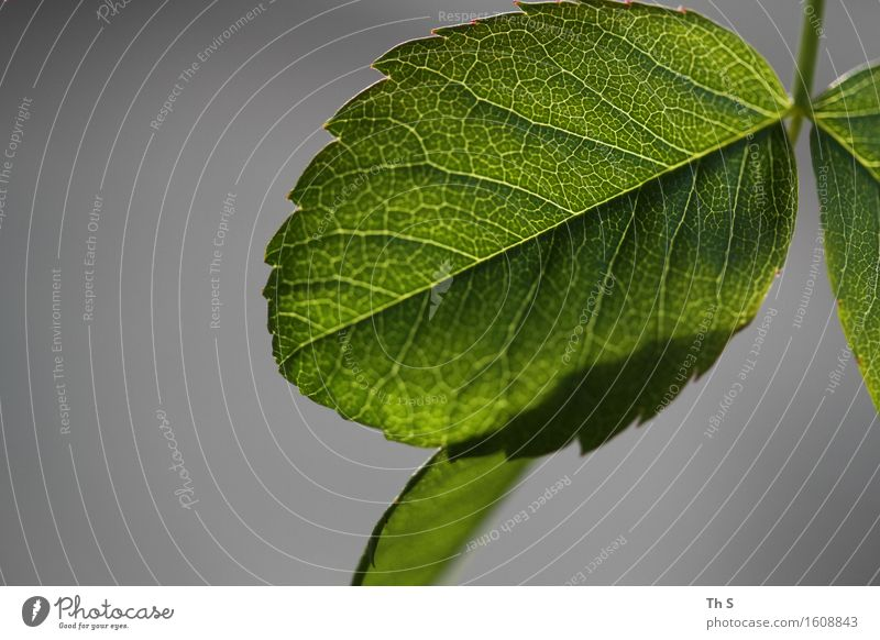 Nature Plant Green Leaf Calm Spring Natural Gray Design Elegant Fresh Idyll Authentic Esthetic Blossoming Uniqueness