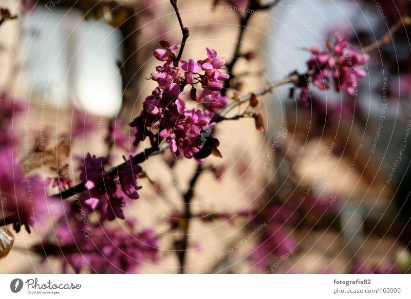 Flower Summer Colour Blossom Bright Pink Branch Spain Diagonal Twig Majorca Magenta