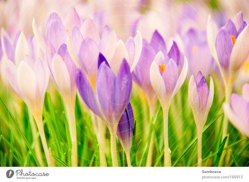 SPRING MESSENGERS Spring Meadow Flower Crocus Grass Violet Green Nature Pastel tone Life Wake up Blossoming Transience Delicate Society Beautiful