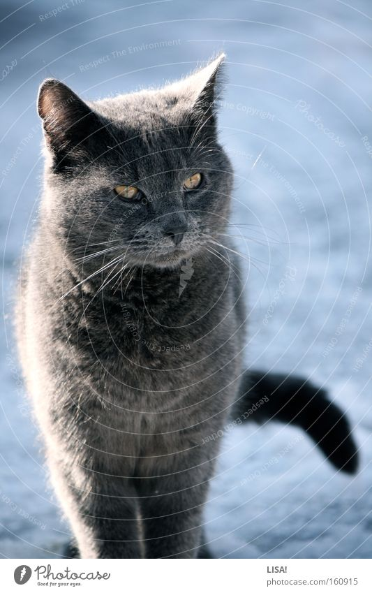 Nature Beautiful White Blue Winter Eyes Animal Cold Snow Gray Cat Observe Natural Pelt Listening Illuminate