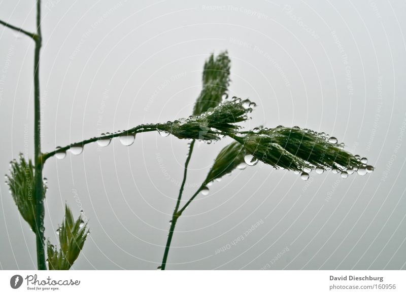 Nature Plant Green Water White Grass Gray Rain Drops of water Wet Round Stalk Blade of grass Dew Damp