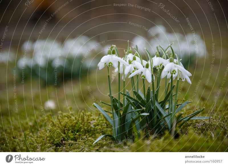 Nature Plant Winter Spring Garden Park Fresh Multiple Delicate Blossoming Moss Bell Wake up Snowdrop Spring flowering plant