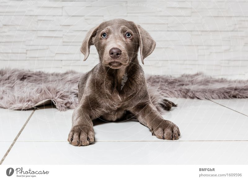 I'll be watching you! Animal Pet Dog Labrador 1 Baby animal Sit Curiosity Cute Brown Watchfulness Serene Puppy Paw ears sharpened Observe keep an eye on