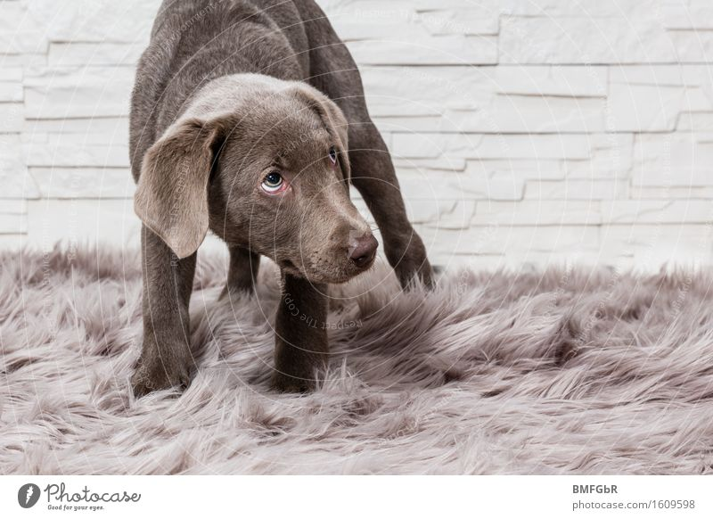 I'm so ashamed.... Animal Pet Dog Labrador Puppy 1 Baby animal Looking Stand Brown Emotions Love of animals Humble Sadness Guilty Shame Remorse Inhibition Fear