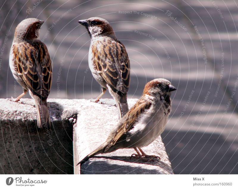 Ulm sparrow x 3 Colour photo Exterior shot Summer Wall (barrier) Wall (building) Bird Stone Rutting season Sparrow Stony Feather Black-headed Sparrow