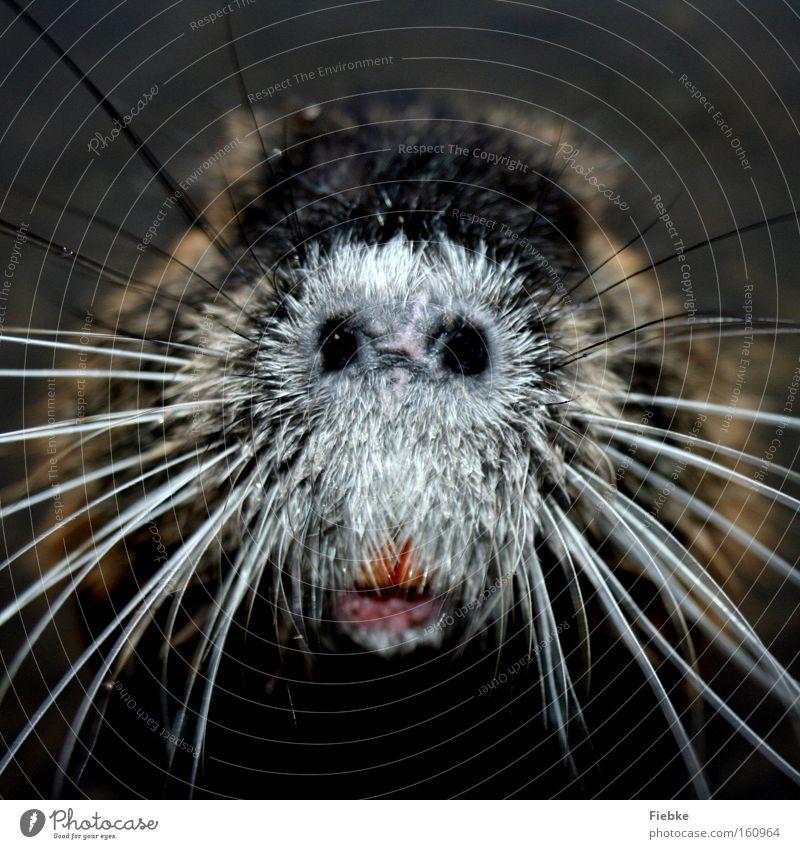 What's that? What's that? :P Animal Whisker Snout Blind Livestock Odor Senses Funny Hideous Strange Exceptional Musk rat Beaver Nutria Curiosity