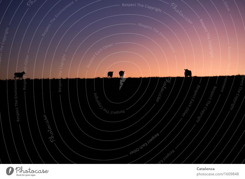When it gets dark Sky Cloudless sky Night sky Horizon Autumn Beautiful weather Meadow Pasture Cow cattle 4 Animal Group of animals Going Walking Stand Dark