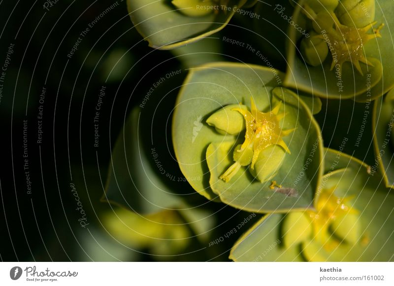 Nature Flower Green Plant Yellow Blossom Small Star (Symbol) Blossoming Dry Exotic Honey Prongs Calyx