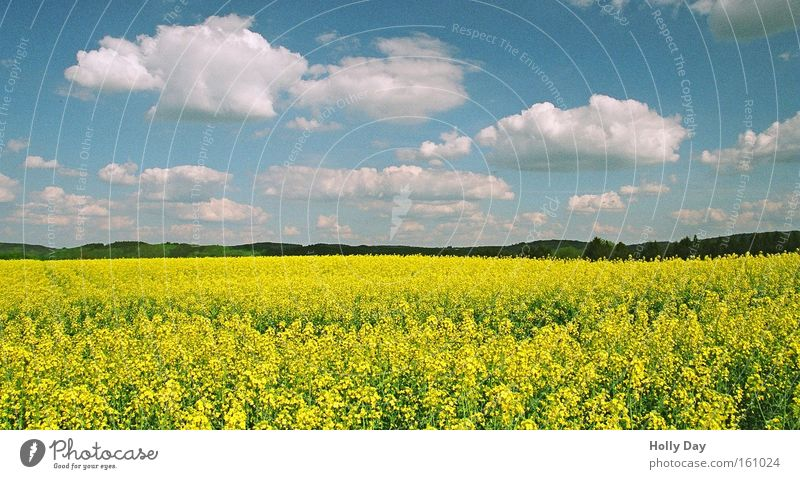 summer rapeseed Yellow Blue White Clouds Canola Blossom Field Summer Life Tall Difference Harvest Growth