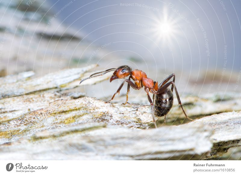 A red wood ant on its travels Animal Ant 1 Walking Running Hiking Colour photo Exterior shot Macro (Extreme close-up) Sunlight Sunbeam Back-light