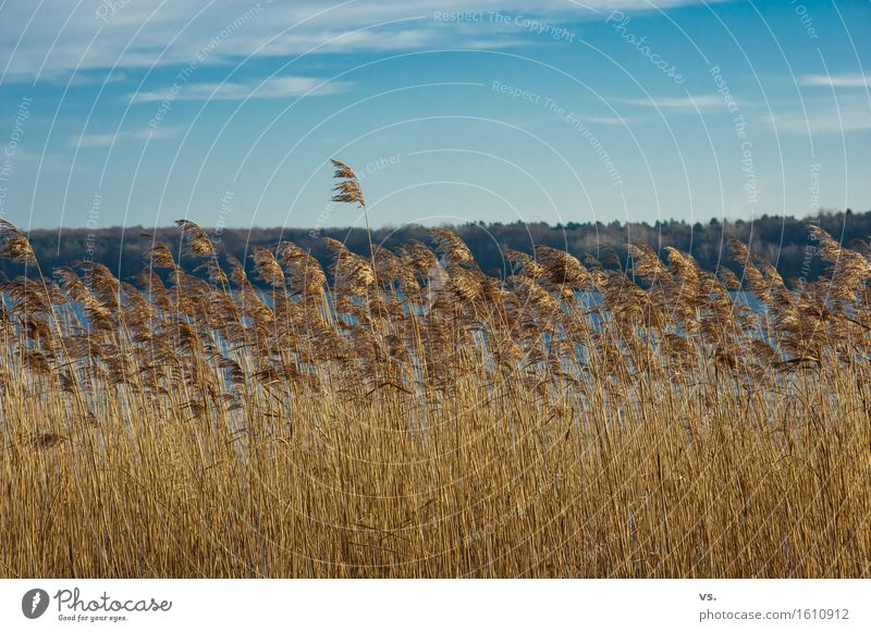 Brushed to the left Plant Sky Sunlight Winter Wild plant Common Reed Coast Lakeside Observe Relaxation Hiking Calm Wanderlust Vacation & Travel Freedom