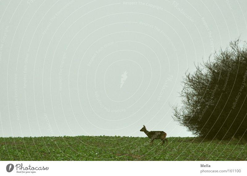 Nature Loneliness Animal Spring Field Free Bushes Wild Wild animal Mammal Individual Roe deer Wilderness Female deer