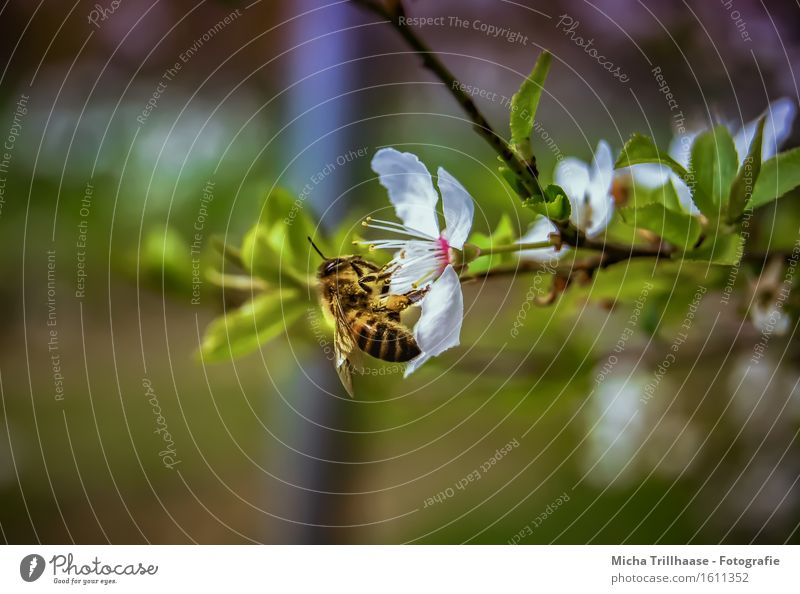 busy bee Environment Nature Plant Animal Sunlight Beautiful weather Tree Leaf Blossom Wild animal Bee Animal face Wing 1 Blossoming Fragrance Flying To feed Sit