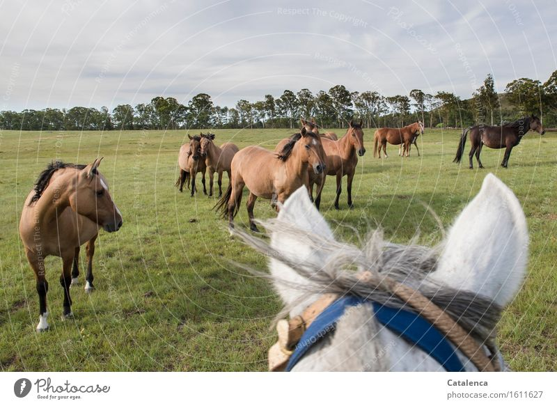 visit Ride Landscape Plant Animal Clouds Grass Eucalyptus tree Meadow Horse Group of animals Observe Movement Fitness Looking Esthetic Curiosity Blue Brown