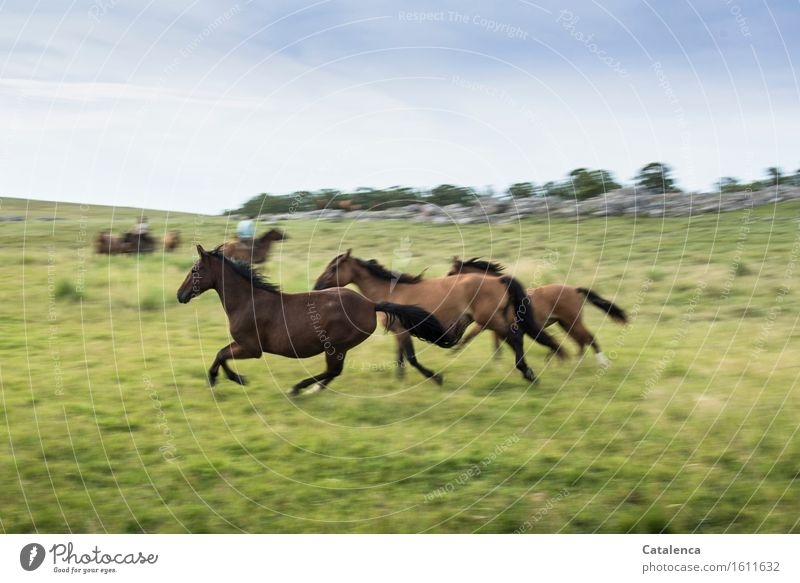 Galloping horses Fitness Sports Training Rider Human being Androgynous 2 Landscape Plant Animal Sky Grass Meadow Field Horse Group of animals Movement Running