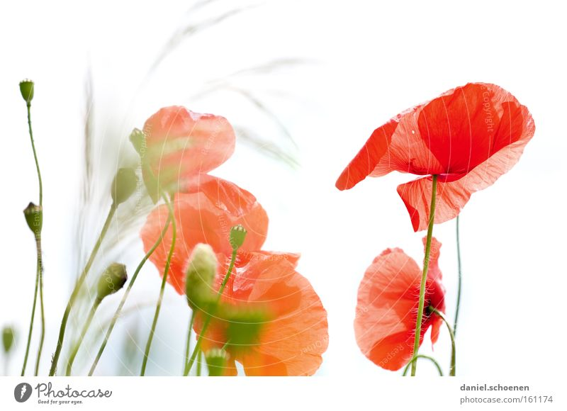Sky White Sun Flower Red Summer Meadow Blossom Poppy Light Bud Corn poppy