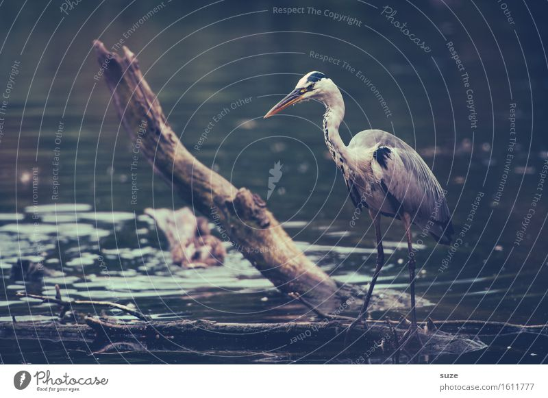 Mr Strese on the jump Elegant Hunting Environment Nature Landscape Animal Water Lakeside Pond Wild animal Bird 1 Stand Wait Esthetic Fantastic Curiosity Gray