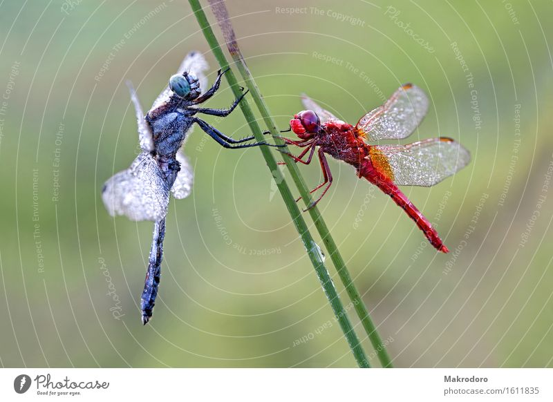 duet Nature Animal 2 Emotions Joy Happy Dragonfly morning frost Marsh grass Glitzy Reflection Colour photo Multicoloured Exterior shot Close-up Detail