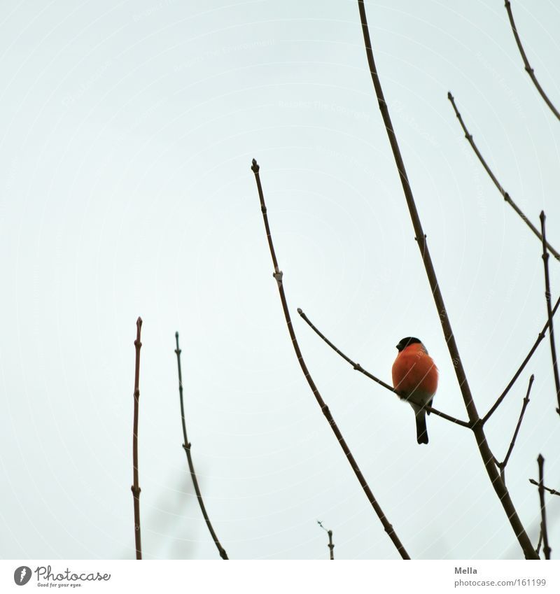 splotch of paint Sky Bird Illuminate Sit Gray Red Colour Bullfinch Patch Branch Twig Branchage Colour photo Exterior shot Deserted Day