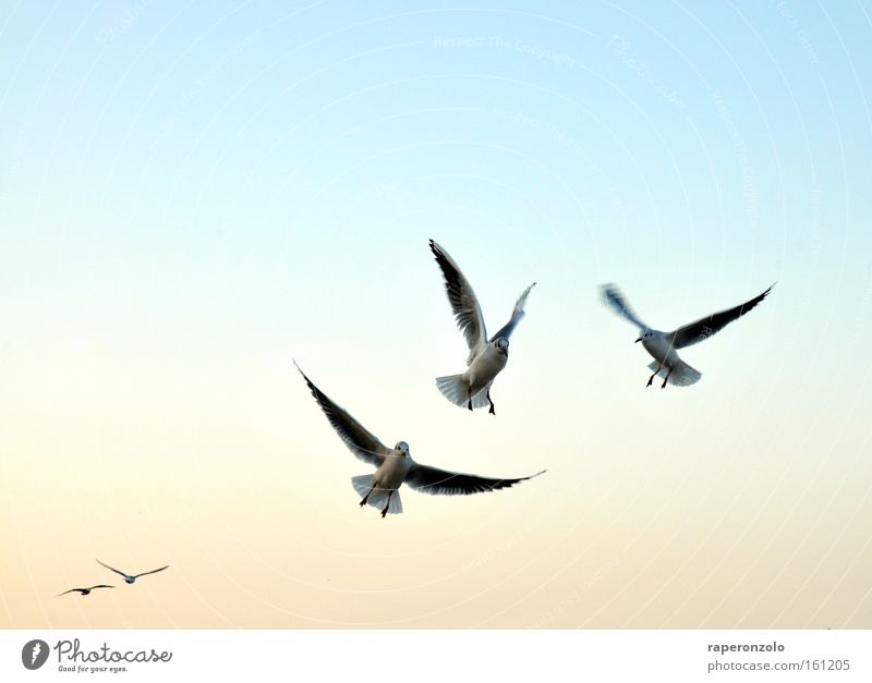 Sky Blue Cold Air Bird Flying Group of animals Wing Seagull Progress Animal Outstretched Cloudless sky Judder