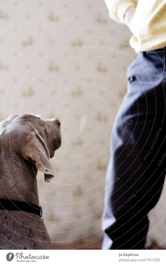 expectations Friendship Legs Animal Pet Dog 1 Communicate Loyalty Relationship Expectation Concentrate Hound Weimaraner Mammal Watchfulness Attentive Companion
