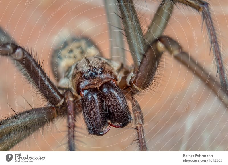 An angle spider Animal Spider 1 Wait Threat Dark Creepy Brown Disgust Nature Colour photo Subdued colour Macro (Extreme close-up) Looking