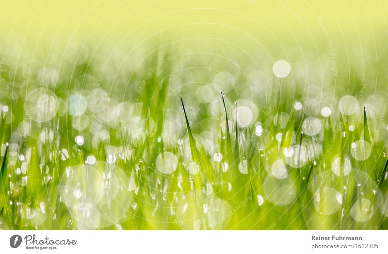 """A young cornfield backlit in the morning dew Nature Plant Drops of water Spring Beautiful weather Foliage plant Agricultural crop Field Environment """"Bokeh"""
