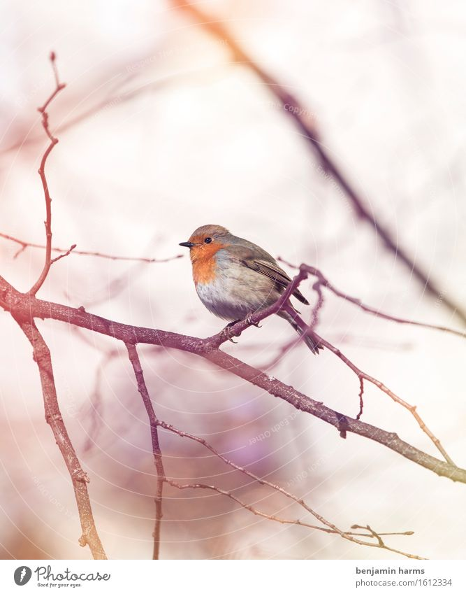 Nature Animal Environment Warmth Spring Bird Sit Robin redbreast