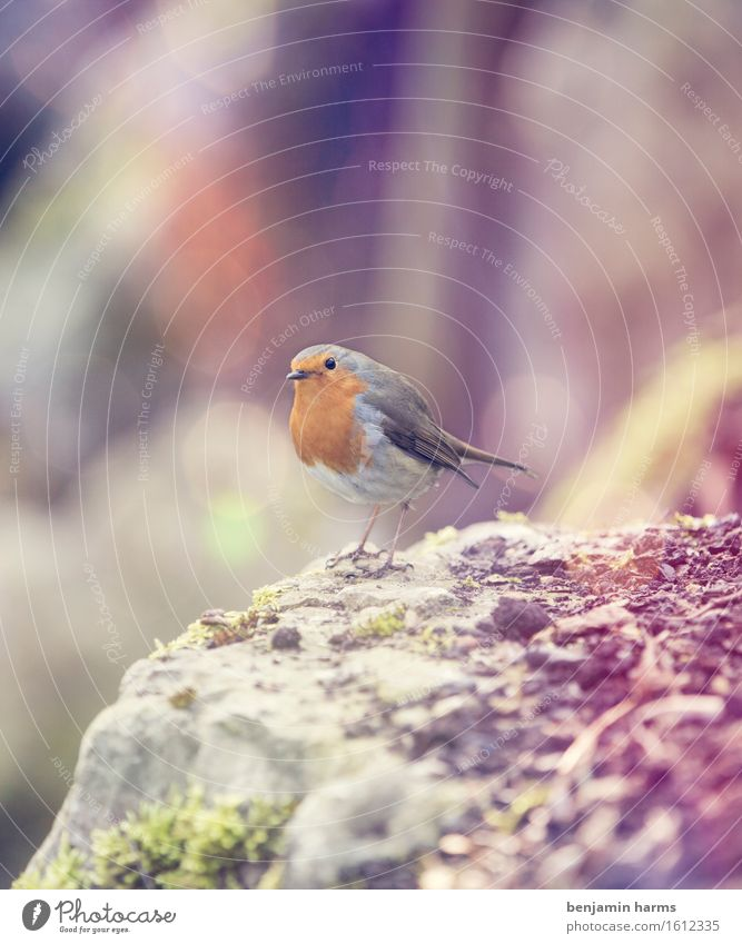 Nature Animal Warmth Spring Bird Sit Robin redbreast