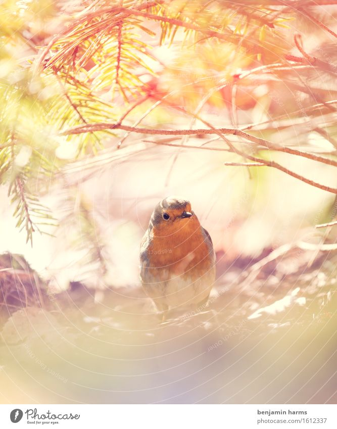 Nature Animal Environment Warmth Spring Bird Sit Beautiful weather Robin redbreast