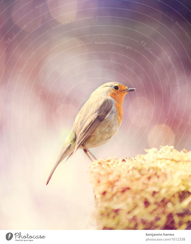 Nature Summer Animal Warmth Bird Sit Beautiful weather Robin redbreast