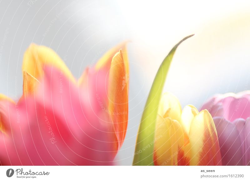 In the light Lifestyle Wellness Harmonious Senses Garden Mother's Day Easter Environment Nature Plant Spring Summer Tulip Blossom Blossom leave Bouquet