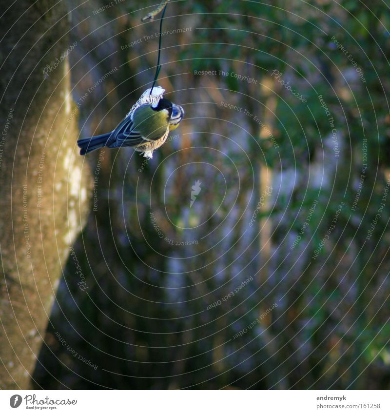 dinner Colour photo Exterior shot Evening Shallow depth of field Rear view Nutrition Garden Nature Animal Sunlight Spring Bird Tit mouse 1 Flying To feed