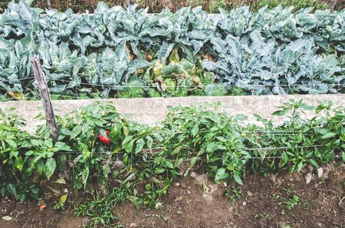 800 | low yield Vegetable Pepper Agriculture Forestry Horticulture Vegetable bed Vegetable garden Organic farming Organic produce Biological Stripe Row Growth
