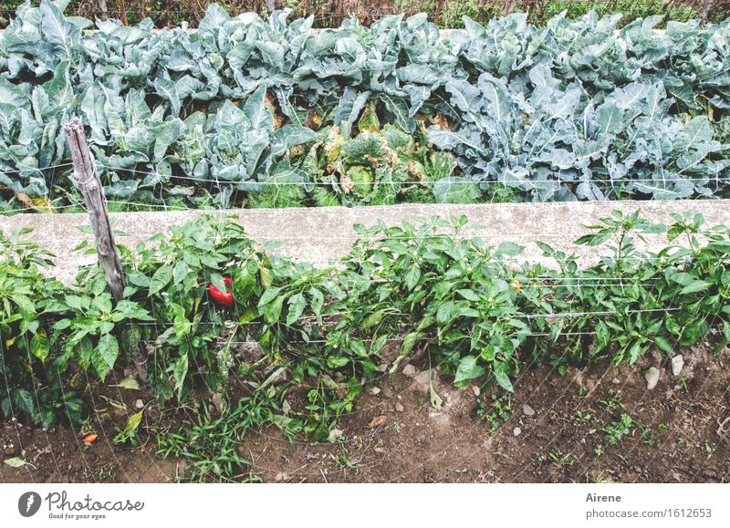 Green Red Natural Healthy Growth Fresh Esthetic Stripe Agriculture Vegetable Organic produce Harvest Row Organic farming Forestry Pepper