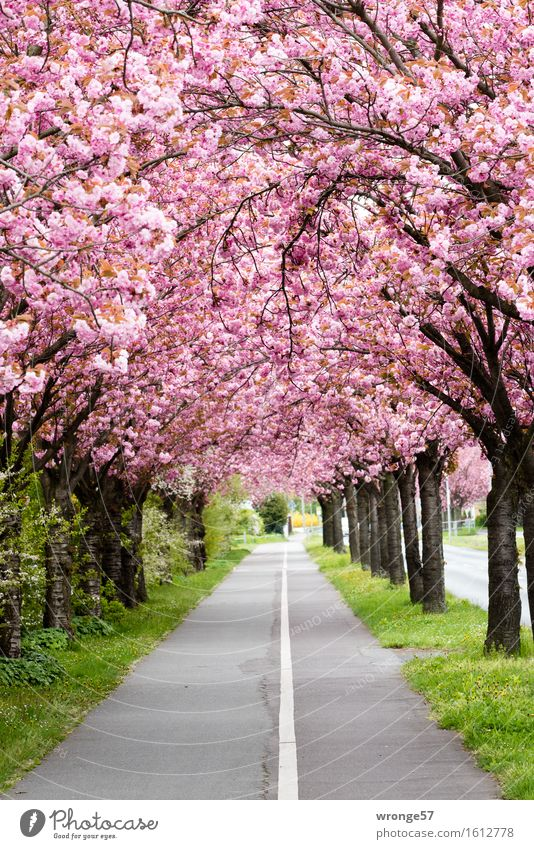 Plant Beautiful Green Tree Spring Blossom Gray Brown Pink Footpath Avenue Spring fever Cycle path Magdeburg Ornamental cherry Spring colours