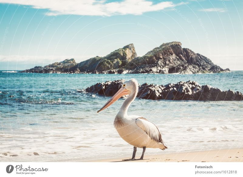 pelican Environment Nature Landscape Water Cloudless sky Ocean Animal Bird Pelican 1 Vacation & Travel Tourism Colour photo Exterior shot Deserted Back-light