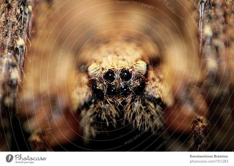 Black Eyes Animal Dark Brown Fear Large Near Threat Net Creepy Disgust Panic Spider Wolf spider