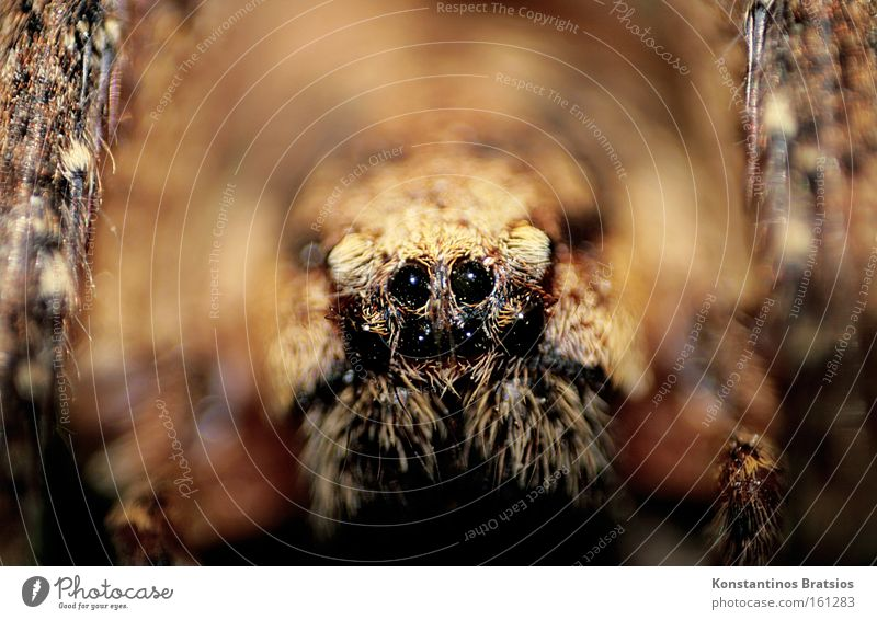 small Wolfi Colour photo Interior shot Close-up Macro (Extreme close-up) Blur Animal portrait Looking into the camera Spider 1 Net Threat Dark Disgust Large