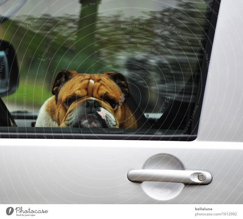 BOTOX Animal Pet Dog Animal face Pelt 1 Observe Discover Relaxation Driving Looking Sit Dream Sadness Wait Wrinkle Car Car door Window Boredom Break