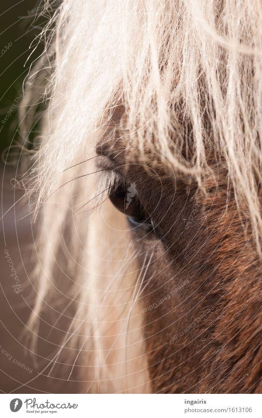 wind colours Nature Animal Farm animal Horse Animal face Pelt Iceland Pony Horse's eyes wind-coloured Horse's head 1 Observe Looking Natural Brown White Moody