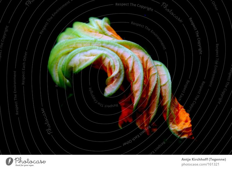 Pumpkin blossom 2 Blossom Yellow Gaudy Multicoloured Nature Flower Green Colour noise Autumn Leaf pumpkin blossom Orange colorflash Exterior shot