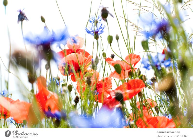 Red with blue all around Summer Meadow Poppy Corn poppy Sun Cornflower Sky Blue Blossom Perspective