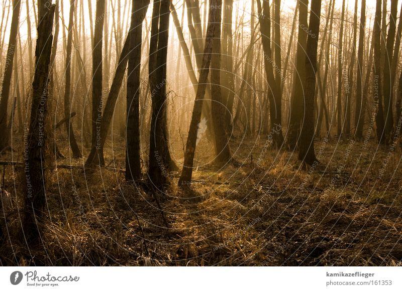 fairy forest Forest Tree Alder Winter Back-light Sunlight Shadow Fog Morning Gold