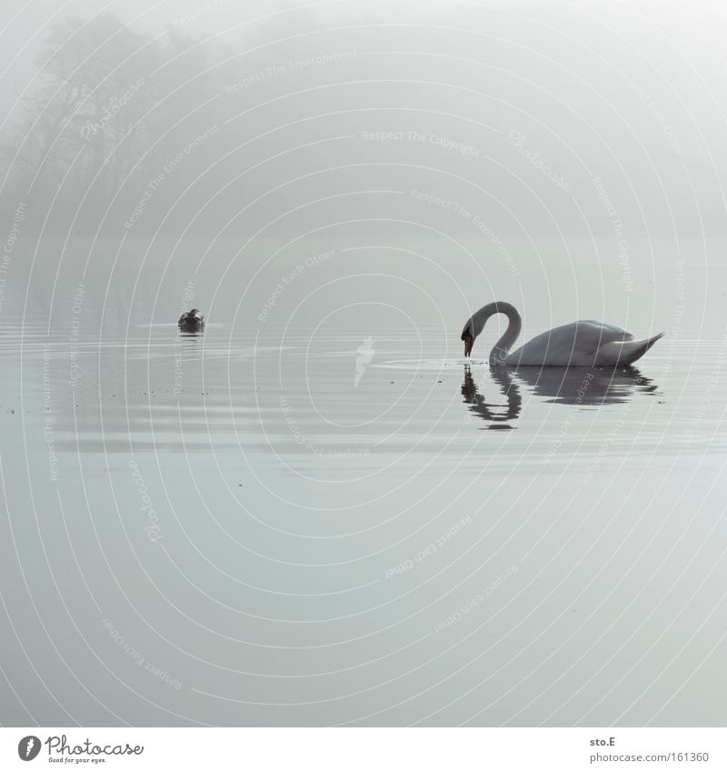 Nature White Animal Lake Moody Bird Fog Feather Lakeside Duck Fairy tale Swan Body of water Impressive Duck birds