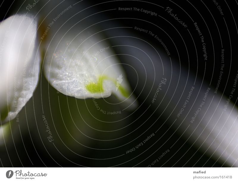 From darkness to light Blossom Light Dark Blur White Green Snowdrop Spring Macro (Extreme close-up) Close-up