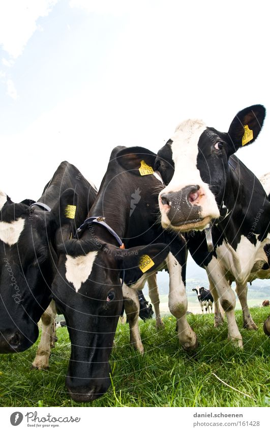 White Black Nutrition Grass Cattle Agriculture Cow Livestock Real estate Mammal Dairy Products